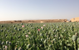 Poppy field in Helmand. Photo: AAN Staff