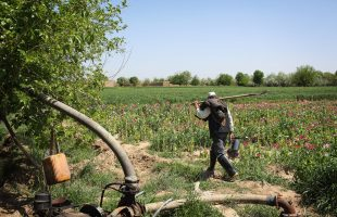 A labourer leaves a poppy field after his morning's work in Nad Ali district, Helmand Province. The new UNODC report heard from 'lancers', those who harvest the poppy, bringing new insights into Afghanistan's drug economy. Photo: Andrew Quilty, 2017.